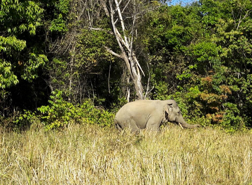 Elephant Khao Yai national park Thailand