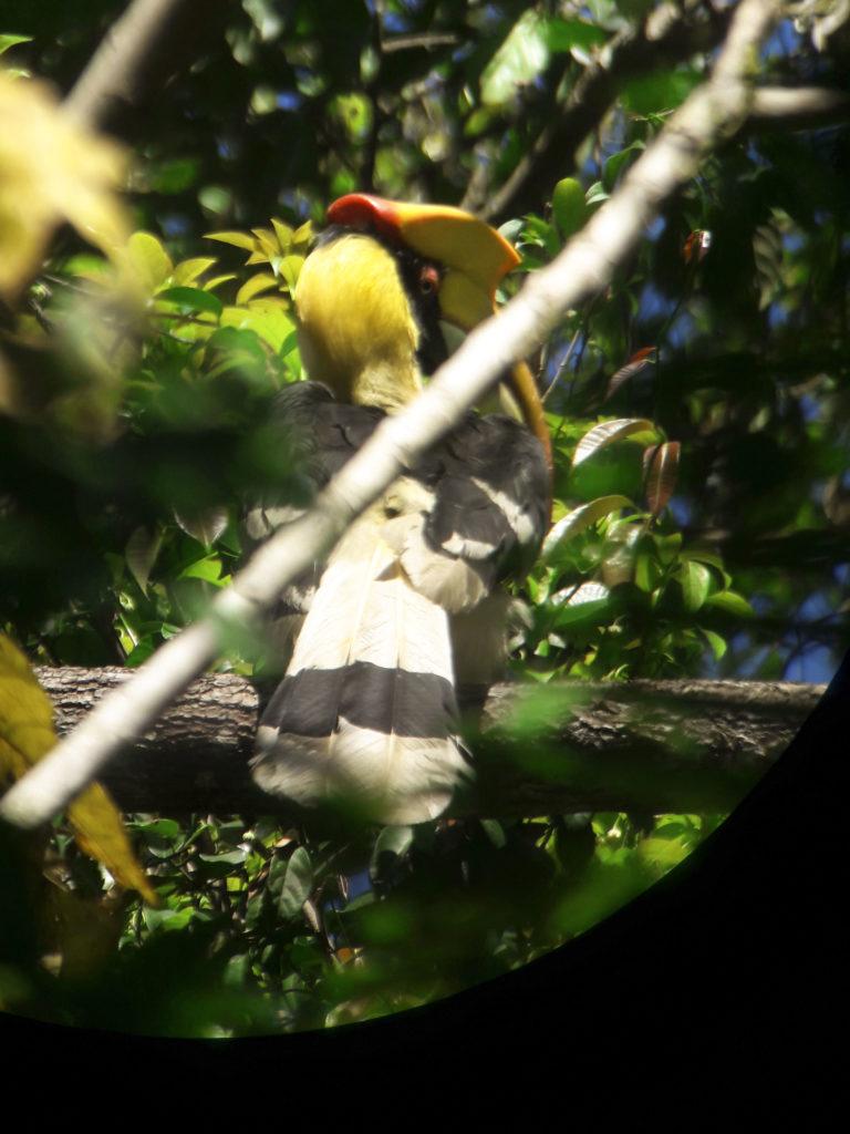Hornbills Khao Yai