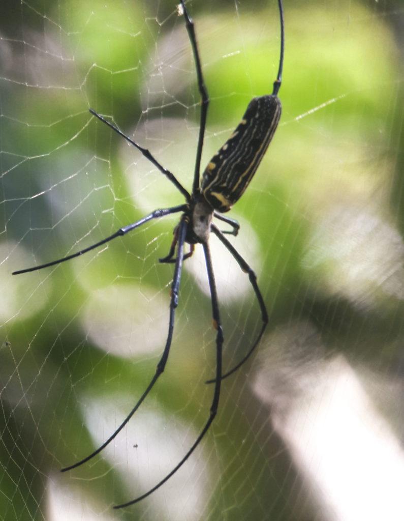 Spider Khao Yai